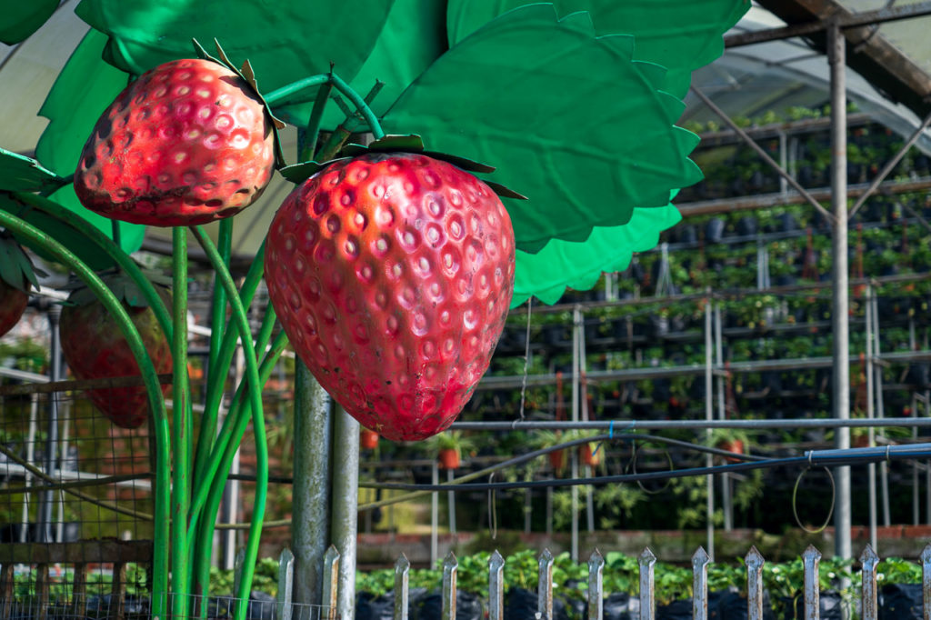 Arked Peladang Cameron Highlands strawberry farm