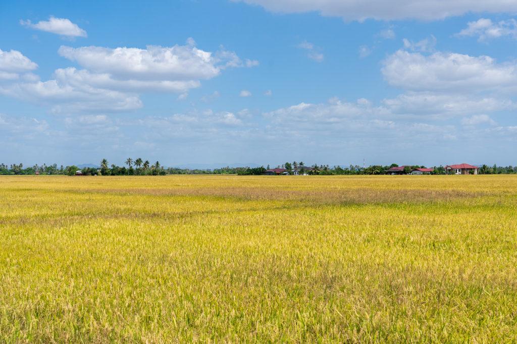 Rice paddy fields, Kuala Perlis