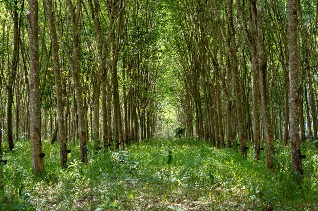 Rubber tree plantation in Ao Luek Noi