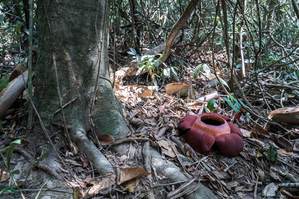 Rafflesia kerrii in Khao Sok National Park