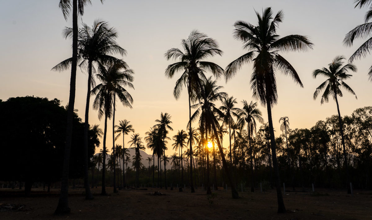Coconut tree plantation in Sam Roi Yot