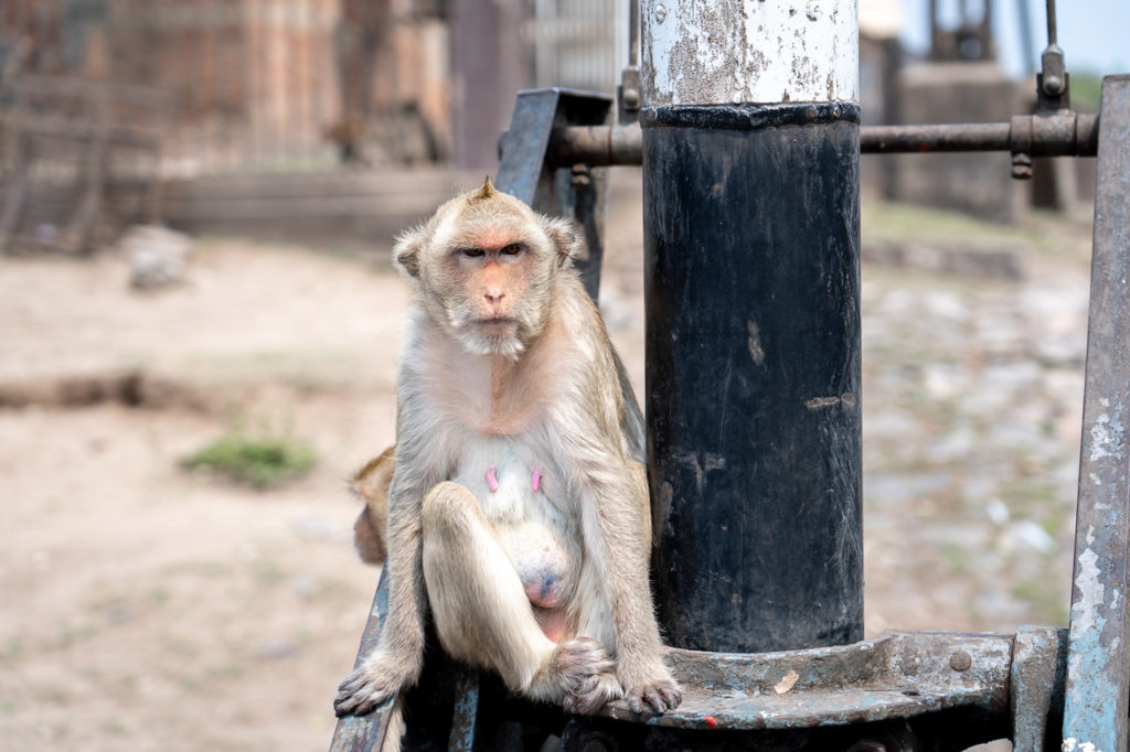 Long-tailed macaque at Prang Sam Yot Road, Lopburi