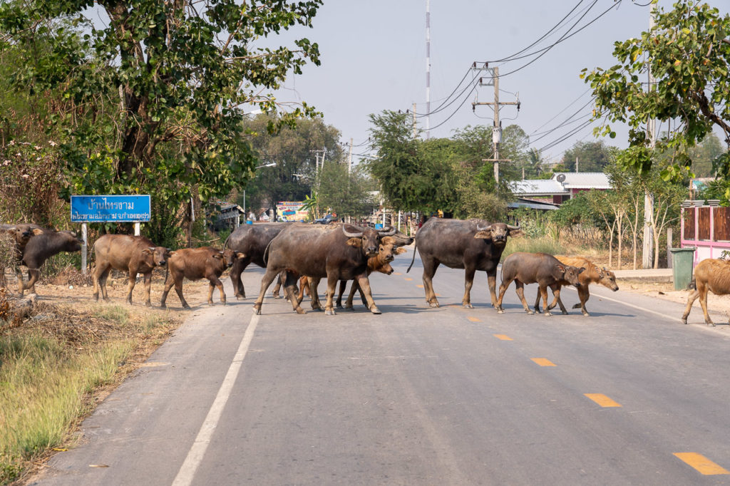 Water buffaloes crossing a road in Sai Ngam