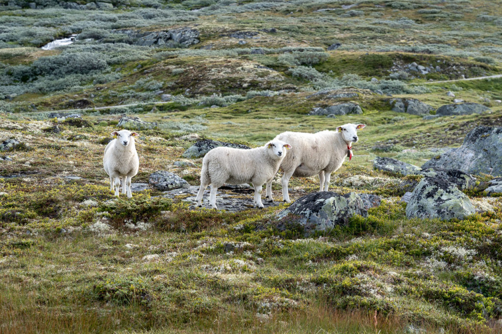 Sheeps on Hardangervidda