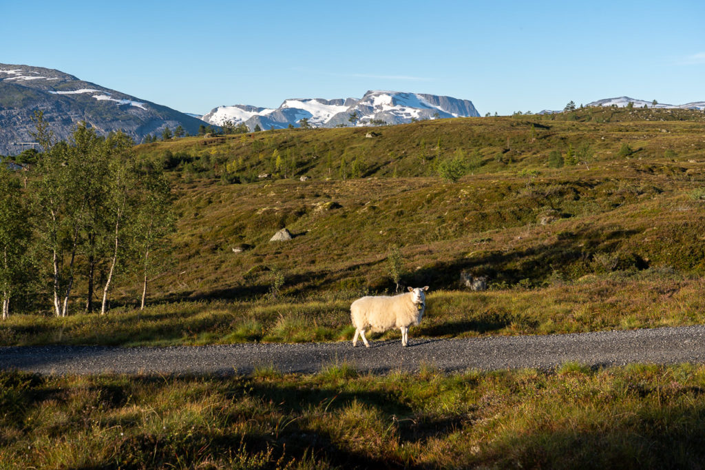 Sheep and Botnafjellet in the background