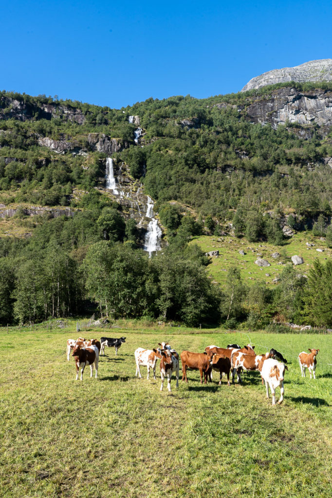 Cows in Oldedalen
