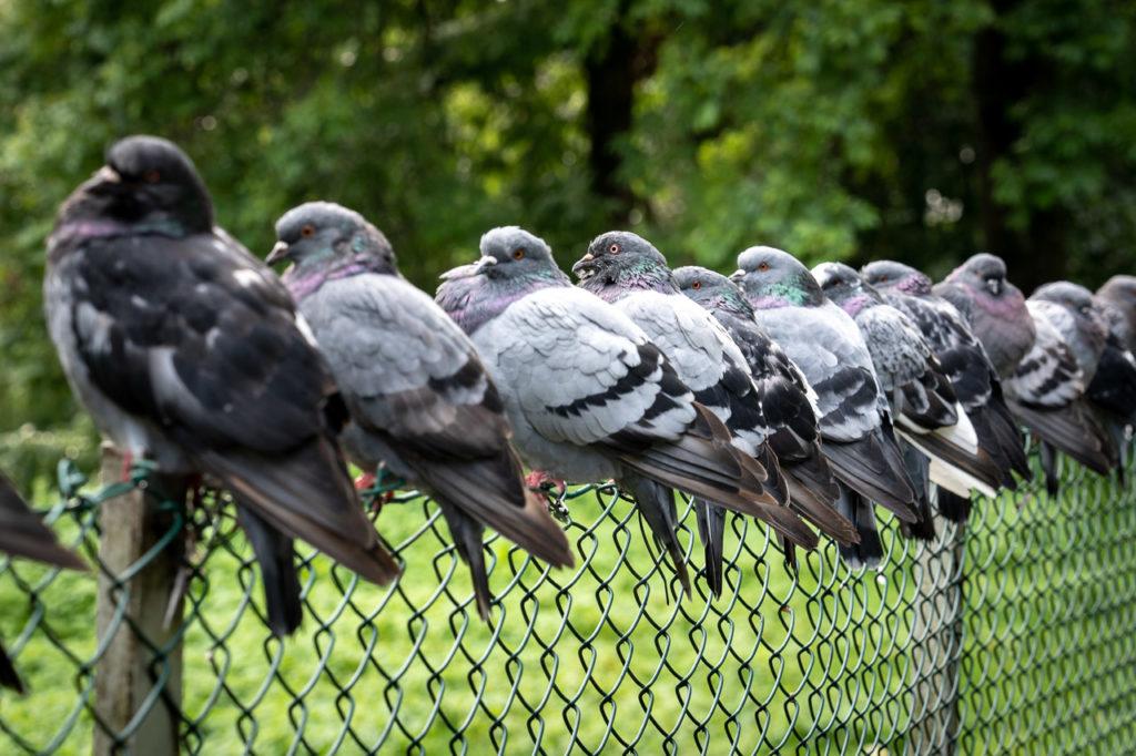 Pigeons nearby Vanndamman, Kristiansund