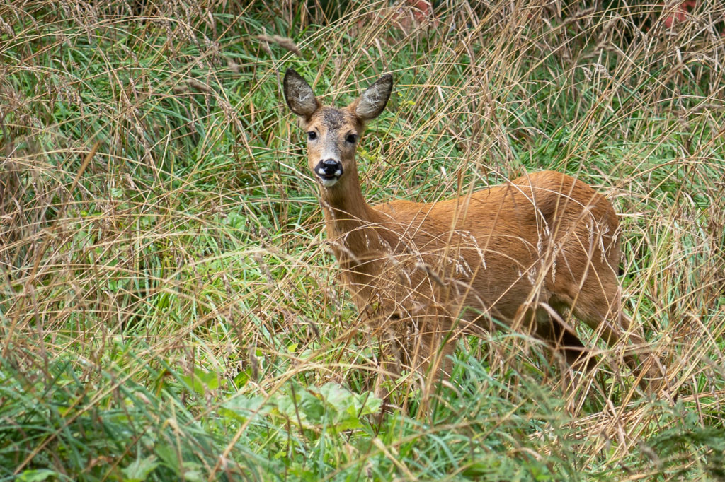 Deer nearby Vanndamman, Kristiansund