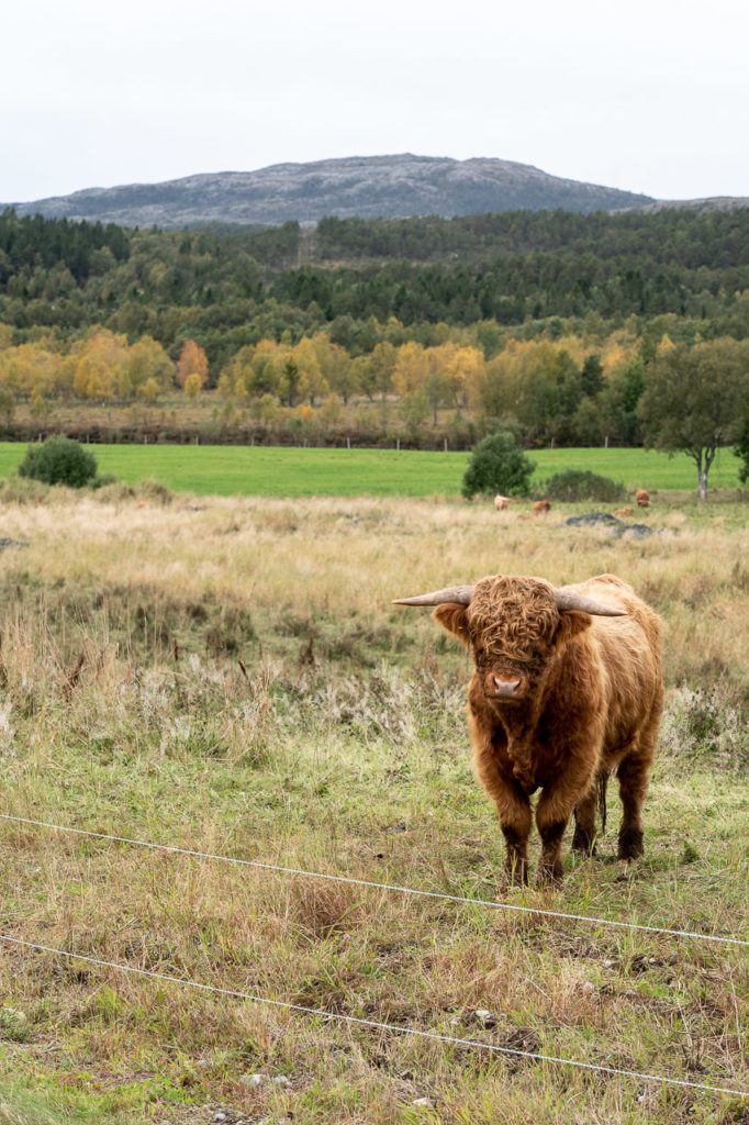 Highland cow nearby Hofles