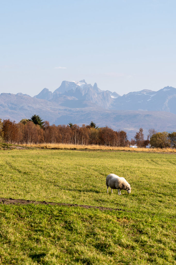 Sheep nearby Bitterstad & Møysalen in the background