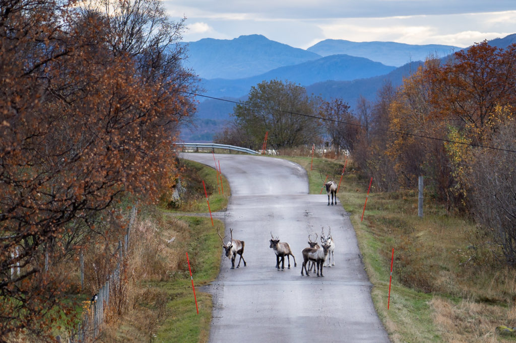 Reindeers on Fylkesvei 8600 nearby Skjærvik