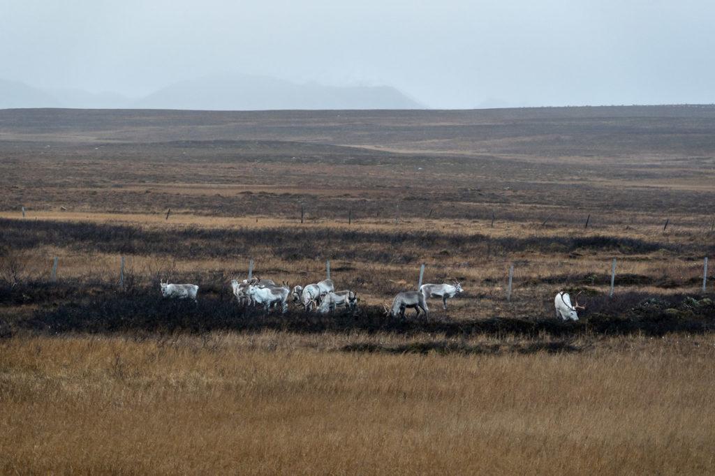 Reindeers nearby Áisaroaivi